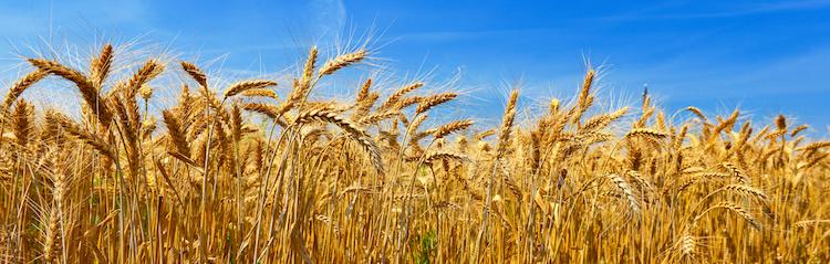 grano duro consorzio terre di biccari